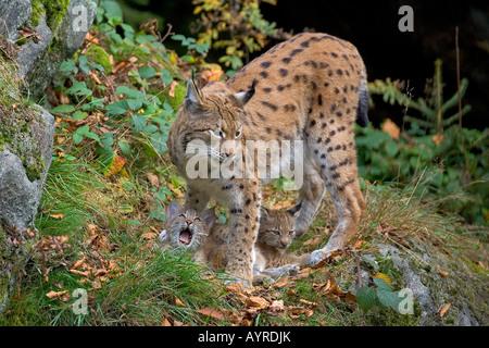 Eurasian Lynx (Lynx lynx) and cubs, Nationalpark Bayerischer Wald (Bavarian Forest National Park), Bavaria, Germany, - Stock Photo