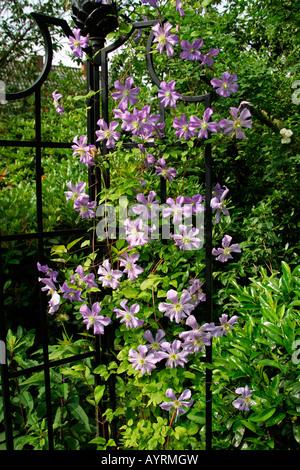 flowering violet clematis clematis cultivar climbing. Black Bedroom Furniture Sets. Home Design Ideas