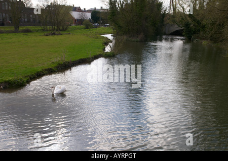 Swan Swimming - Cambridge Coe Fen from bridge over river in urban surroundings - Stock Photo