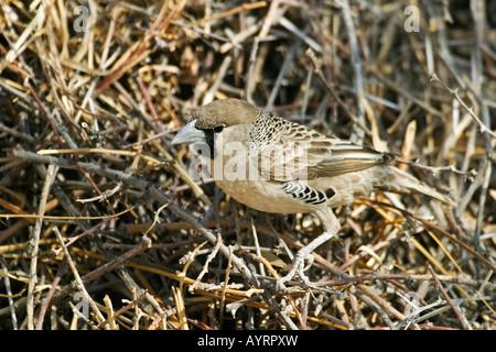 Sociable Weaver (Philetairus socius) building its nest, Etosha National Park, Namibia, Africa - Stock Photo