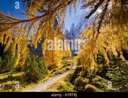 Yellow larches (Larix) in autumn along a hiking trail in Fischlein Valley, Dolomites, Bolzano-Bozen, Italy - Stock Photo