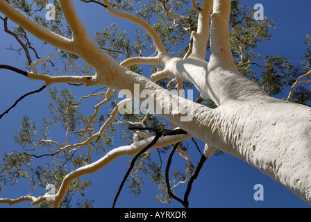 Top of a Ghost Tree (Eucalyptus), East MacDonnell Ranges, Northern Territory, Australia - Stock Photo