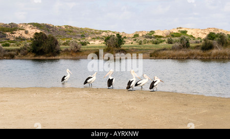 Pelicans (Pelecanidae) on a sand island in the Bowes River, Western Australia, Australia - Stock Photo