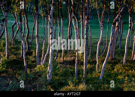 Dense Downy Birch forest (Betula pubescens), Abisko National Park, Lapland, Sweden - Stock Photo
