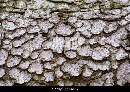 Texture, European Black Pine (Pinus nigra) bark, Lueerwald (Luer Forest), Sauerland, North Rhine-Westphalia, Germany - Stock Photo