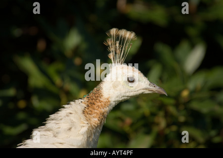 White peacock Pavo cristatus mut. Alba - Stock Photo