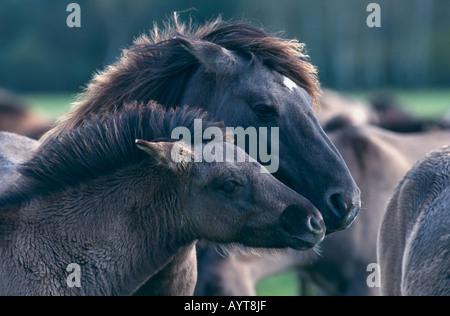 Dülmener Wildpferd Wild Horses of Dülmen Germany - Stock Photo