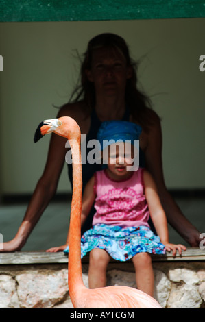 Netherlands Antilles Curacao flamingoes at the sea aquarium - Stock Photo