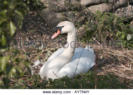 swan sitting on a nest - Stock Photo