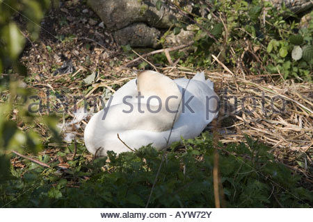 swan sleeping whilst sitting on its nest - Stock Photo