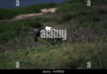 Adult Laysan albatross soaring over breeding grounds at Kaena Point Oahu Hawaii - Stock Photo