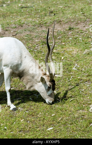 Scimitar Oryx or Scimitar Horned Oryx oryx dammah - Stock Photo