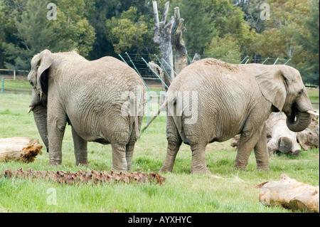 African Elephant Loxodonta Africana Dubbo Zoo NSW Australia - Stock Photo