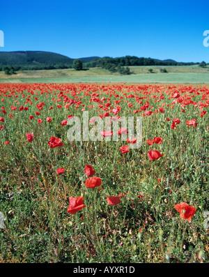 Wiese mit Klatschmohn, Blumenwiese, Mohnwiese, Wiesenlandschaft - Stock Photo