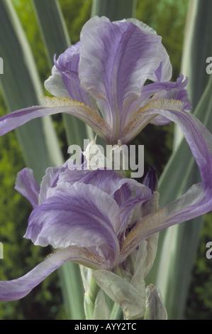 Iris pallida 'Argentea Variegata' [see notes] Pale blue and white bearded iris with variegated leaves. - Stock Photo