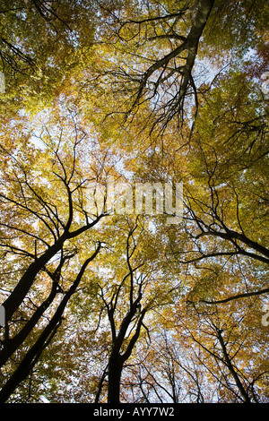 Beech trees in Autumn in Buckholt and Rough Park Woods in Gloucestershire UK - Stock Photo