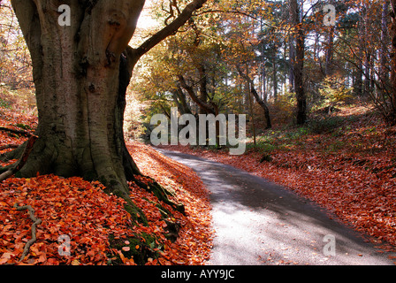 autumn leaves on country lane, felbrigg, norfolk - Stock Photo