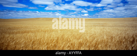 Golden wheat awaits harvest under cloud filled sky Watford City North Dakota - Stock Photo