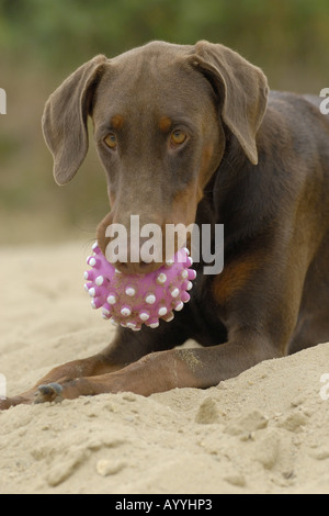Dobermann (Canis lupus f. familiaris), with ball in mouth, portrait - Stock Photo
