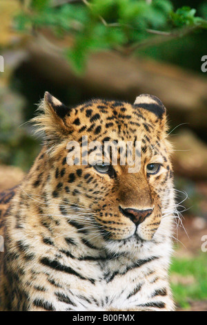 Amur Leopard at Cotswold Wildlife Park Burford England - Stock Photo