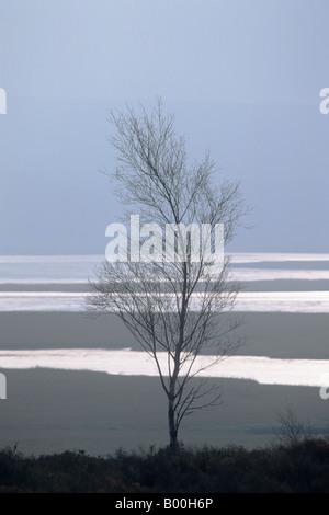 Curved Birch Sapling (Betula pendula) - Stock Photo