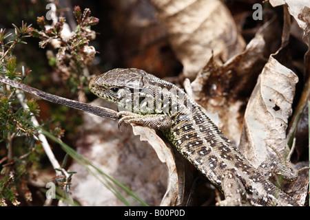 Female Sand Lizard Lacerta Agilis - Stock Photo
