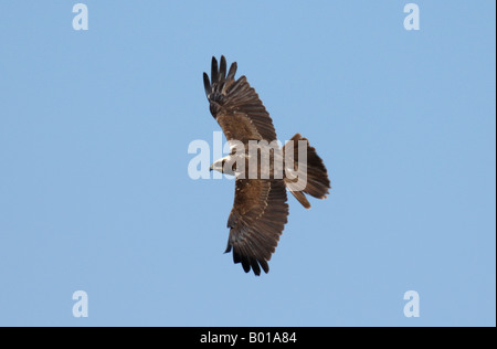 female Marsh Harrier in flight against blue sky - Stock Photo