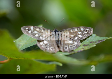 Speckled wood butterfly Pararge aegeria - Stock Photo