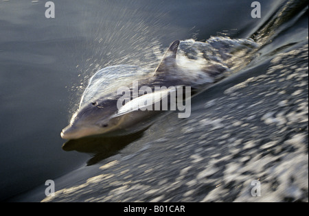 Portrait of an Atlantic bottlenose dolphin Tursiops truncatus - Stock Photo