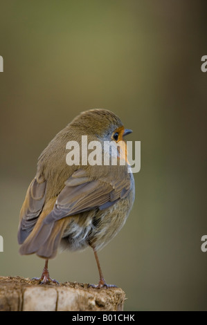 Robin Perched On Fence Post - Erithacus rubecula - Stock Photo