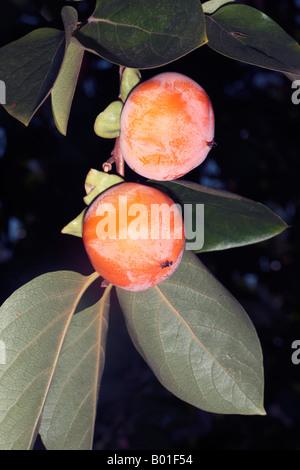 Japanese Date Plum/Kaki Tree/Persimmon-Diospyros kaki-Family Ebenaceae - Stock Photo