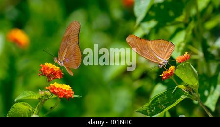 Profiles of Dryas Julia butterflies feeding on lantana bush Osa Peninsula Carate Costa Rica - Stock Photo