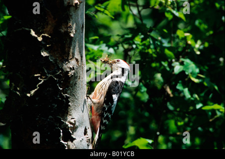Pic mar Middle Spotted Woodpecker Picoides medius Dendrocopos medius adult brings food to its young Asia Aves Brutpflege - Stock Photo