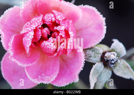 Closeup of a pink rose covered by morning frost - Stock Photo