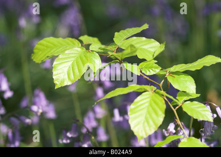 Close up of green beech leaves against a blurred background of bluebells, Wiltshire, England - Stock Photo