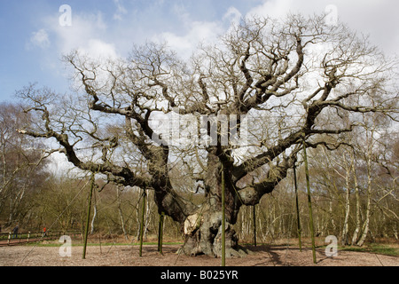 Major Oak in winter, Sherwood Forest Country Park, Nottinghamshire - Stock Photo