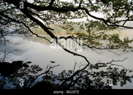 Dipping Oak Tree Branches on the shore of Llyn Gwynant. Early morning mist. Snowdonia National Park North Wales - Stock Photo