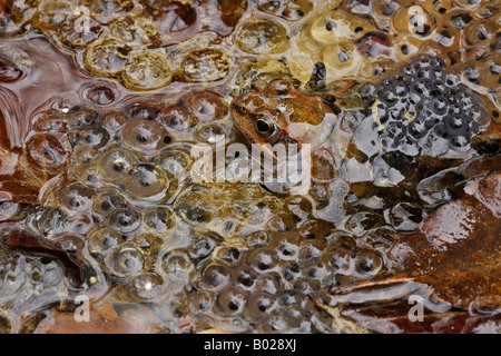 Common Frog (Rana temporaria) among spawn in a pond - Stock Photo
