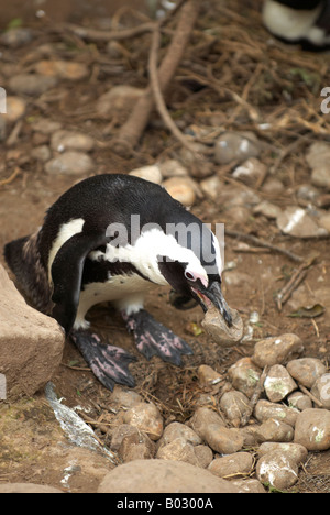 African Penguin (Spheniscus demersus)  in the process of building a stone nest - Stock Photo
