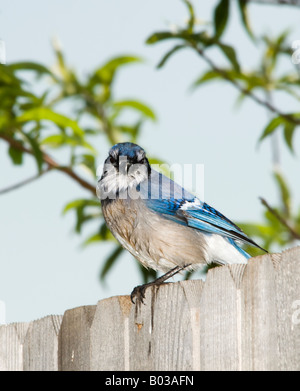 A Blue Jay, Cyanocitta cristata, sits on a fence to dry its feathers after a bath. - Stock Photo