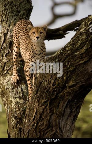 Cheetah (Acinonyx jubatus raineyii) in a tree at Ndutu, in the Ngorongoro Conservation Area of Tanzania - Stock Photo