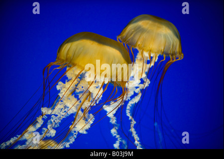 Pacific Sea Nettles (Chrysaora fuscescens) Oregon Coast Aquarium, Newport, OREGON - Stock Photo