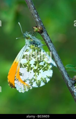 Orange tip Aurorafalter anthocharis cardamines butterfly - Stock Photo