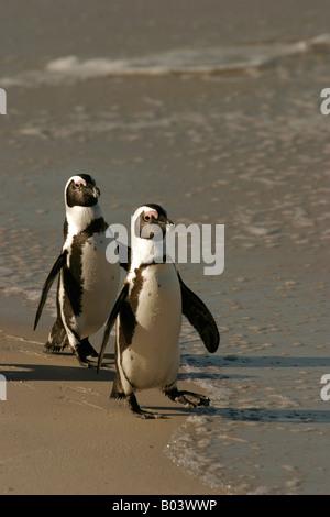 brillenpinguin african penguin blackfooted penguin spheniscus demersus south africa suedafrika - Stock Photo