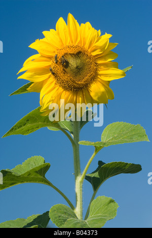 blossom of a sunflower with honeybee Apis mellifera searching for nectar Baden Wuerttemberg Germany - Stock Photo