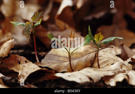 bergahorn acer pseudoplantanos sycamore sycamore maple erable sycamore arce sicomoro arce blanco fruchtstand fallschirm - Stock Photo