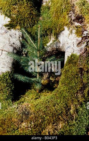 fichten picea spruce spruces epicea epinettes prusses abeto falso - Stock Photo