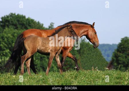 pura raza espanola pre andalusier Andalusian Horse Spanisches Pferd Spain Horses - Stock Photo
