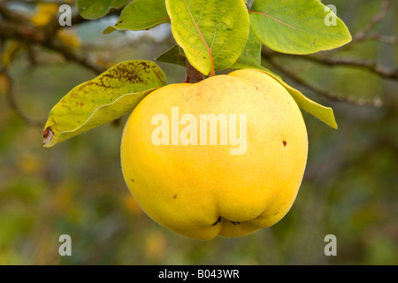 Quinces ripe fruits hanging on branch of quince tree Germany
