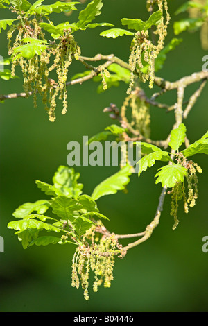 oak oaktree roble chene quercus rubor - Stock Photo